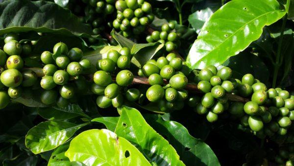 国産 コーヒー